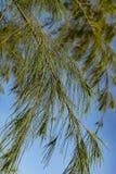 La imagen del primer y del foco selectivo de la planta del casuarina se va Imágenes de archivo libres de regalías