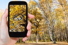 La imagen del roble amarillo ramifica en bosque del otoño Fotos de archivo