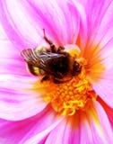 La imagen escénica, colorida de manosea la abeja en la flor rosada, cierre para arriba Imágenes de archivo libres de regalías