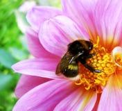 La imagen escénica, colorida de manosea la abeja en la flor rosada, cierre para arriba Imagen de archivo libre de regalías