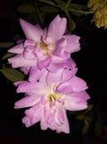 La imagen hermosa de las rosas está mostrando poder natural imágenes de archivo libres de regalías