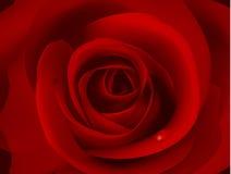 La imagen macra de rojo oscuro se levantó con la gotita de agua. Fotografía de archivo libre de regalías