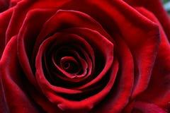 La imagen macra de un rojo oscuro se levantó en la plena floración Foto de archivo libre de regalías