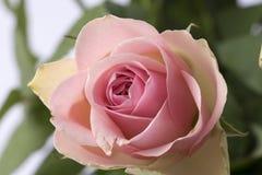 La imagen macra de un rosado subió Imagen de archivo libre de regalías