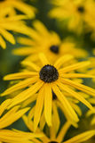 La imagen macra vibrante del negro observó la flor de Susan en verano Fotografía de archivo