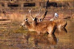 La India, Ranthambore: Deers Imagen de archivo