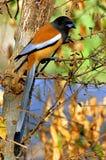 La India, Ranthambore: pájaro Foto de archivo libre de regalías
