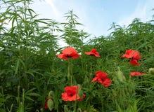 La inflorescencia con las semillas de la planta del cáñamo y de la amapola de opio florece Fotos de archivo libres de regalías