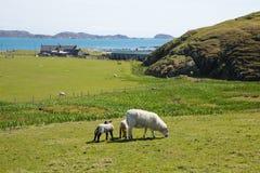 La isla de la opinión escocesa británica de la isla de Iona Scotland ovejas con reflexiona sobre Imagenes de archivo