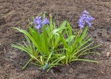 La jacinthe bleue avec le muscari a fleuri sur un lit de fleur Image stock