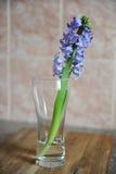 La jacinthe bleue tendre fleurit dans un vase en verre Fond rose gentil, table en bois, humeur de ressort Images stock