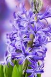 La jacinthe de floraison fleurit (le hyacinthus) photo libre de droits