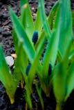 La jacinthe de Muscari de Muscari, ressort de fleur d'oignon de vipère fleurit l'élevage violet lilas dans le sauvage de l'extéri Images stock