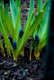 La jacinthe de Muscari de Muscari, ressort de fleur d'oignon de vipère fleurit l'élevage violet lilas dans le sauvage de l'extéri Photographie stock