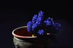 La jacinthe de raisin bleue, armeniacum de Muscari fleurit dans un argile vert Images libres de droits