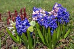 La jacinthe fleurit au printemps sur un lit Photo stock