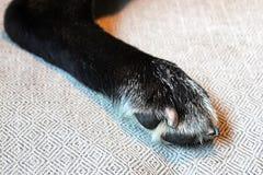 La jambe arrière d'un chien avec ses clous a récemment coupé photographie stock