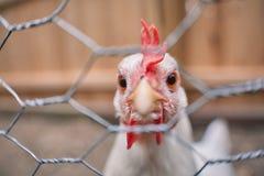 La jaula nacional del gallo del pueblo de los huevos de Pascua de las aves de corral del pollo de la granja libera Imagen de archivo