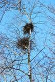 la jerarquía de cuervo en los abedules contra el cielo azul en primavera Foto de archivo libre de regalías