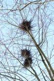 la jerarquía de cuervo en los abedules contra el cielo azul en primavera Fotografía de archivo