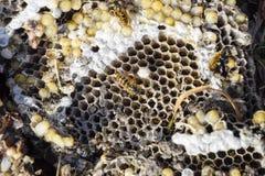 La jerarquía del avispón destruido dibujada en la superficie de las larvas de la jerarquía de un avispón del panal y de las crisá Fotografía de archivo libre de regalías
