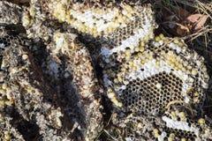 La jerarquía del avispón destruido dibujada en la superficie de las larvas de la jerarquía de un avispón del panal y de las crisá Imagen de archivo libre de regalías