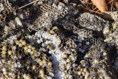 La jerarquía del avispón destruido dibujada en la superficie de las larvas de la jerarquía de un avispón del panal y de las crisá Foto de archivo