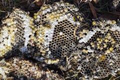 La jerarquía del avispón destruido dibujada en la superficie de las larvas de la jerarquía de un avispón del panal y de las crisá Imagen de archivo