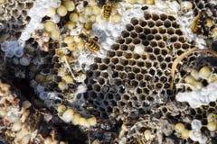 La jerarquía del avispón destruido dibujada en la superficie de las larvas de la jerarquía de un avispón del panal y de las crisá Fotos de archivo