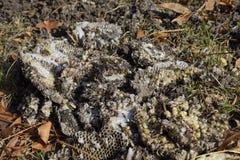 La jerarquía del avispón destruido dibujada en la superficie de las larvas de la jerarquía de un avispón del panal y de las crisá Fotos de archivo libres de regalías