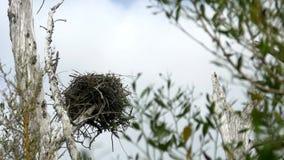 La jerarquía del pájaro de Osprey en árbol muerto sopla en el viento, ANCHO, 4K metrajes