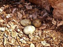 La jerarquía y los huevos de la gaviota imagen de archivo libre de regalías