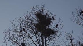 La jerarquización de los grajos alta para arriba en la primavera de los árboles, del canto y el volar - jerarquía del grajo -  almacen de video