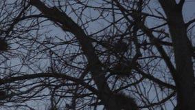 La jerarquización de los grajos alta para arriba en la primavera de los árboles, del canto y el volar - jerarquía del grajo -  almacen de metraje de vídeo