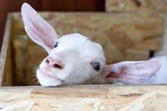 La jeune chèvre blanche semble touchante images libres de droits