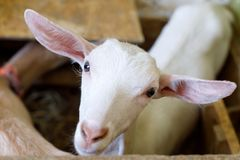 La jeune chèvre blanche semble touchante image libre de droits