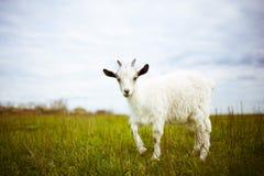 La jeune chèvre frôle dans un pré Photos libres de droits