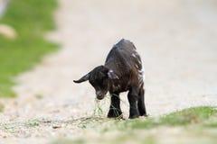 La jeune chèvre noire a trouvé quelque chose manger Image stock
