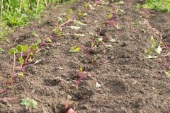 La jeune et assoiffée betterave laisse l'élevage sur un lit de jardin dans le jardin Photo libre de droits