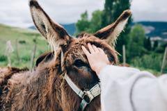 La jeune femme caresse un âne heureux Photos stock