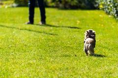 La jeune fille forme son chienchien de chiwawa sur l'herbe Images libres de droits