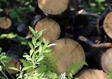La jeune fougère verte part de l'élevage parmi les troncs d'arbre sciés Photographie stock