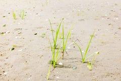 La jeune herbe plante l'élevage en sable de plage, Pays-Bas Photos libres de droits