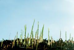 La jeune herbe se développe après pluie et baisses de l'eau et de ciel bleu d'espace libre Photographie stock libre de droits