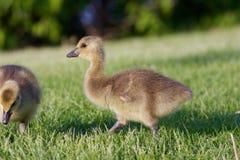 La jeune oie caquetante mignonne va quelque part Photographie stock libre de droits