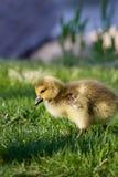 La jeune oie mignonne va quelque part Image libre de droits