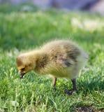 La jeune oie recherche quelque chose Photo libre de droits