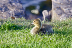 La jeune oie s'étend sur l'herbe verte Photos stock