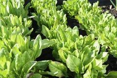 La jeune oseille verte juteuse se développe dans le jardin dans une journée de printemps ensoleillée Images libres de droits