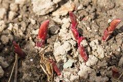 La jeune pivoine rouge pousse l'élevage de la terre Photographie stock libre de droits